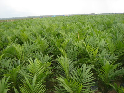 perkebunan biofuel