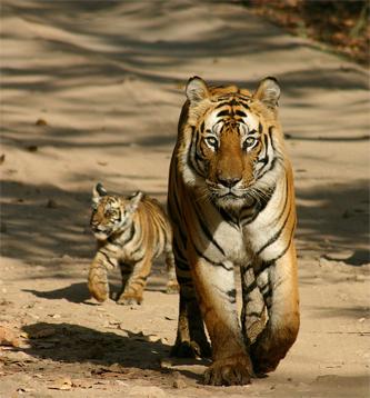 mp_tiger1